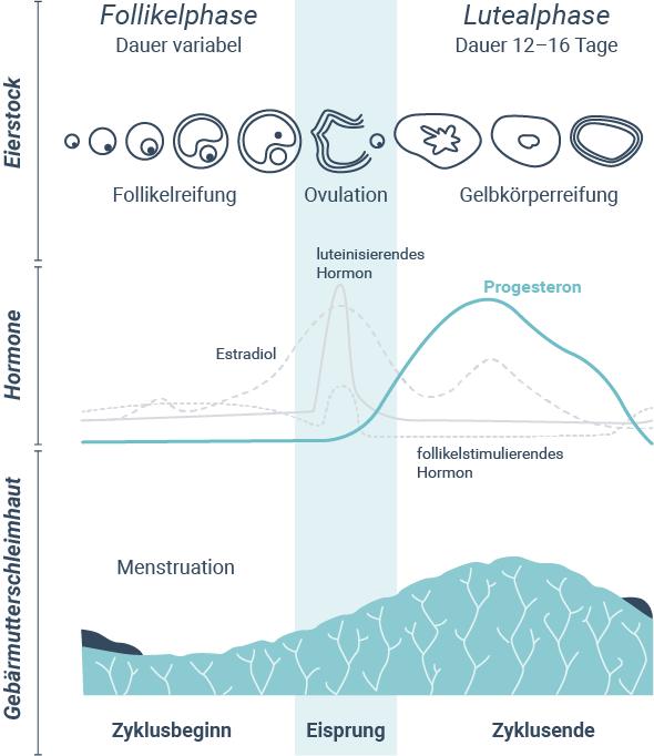 Wie Funktioniert Der Weibliche Zyklus: Wie Verläuft Der Weibliche Zyklus?