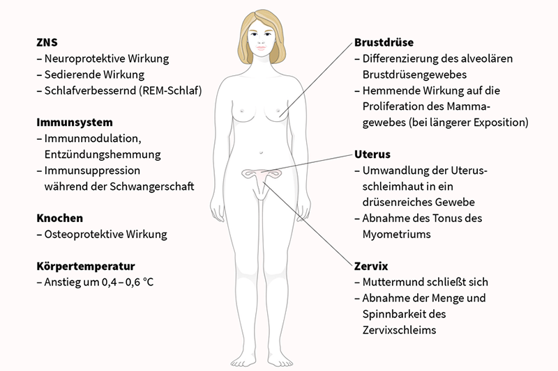 Funktionen von Progesteron