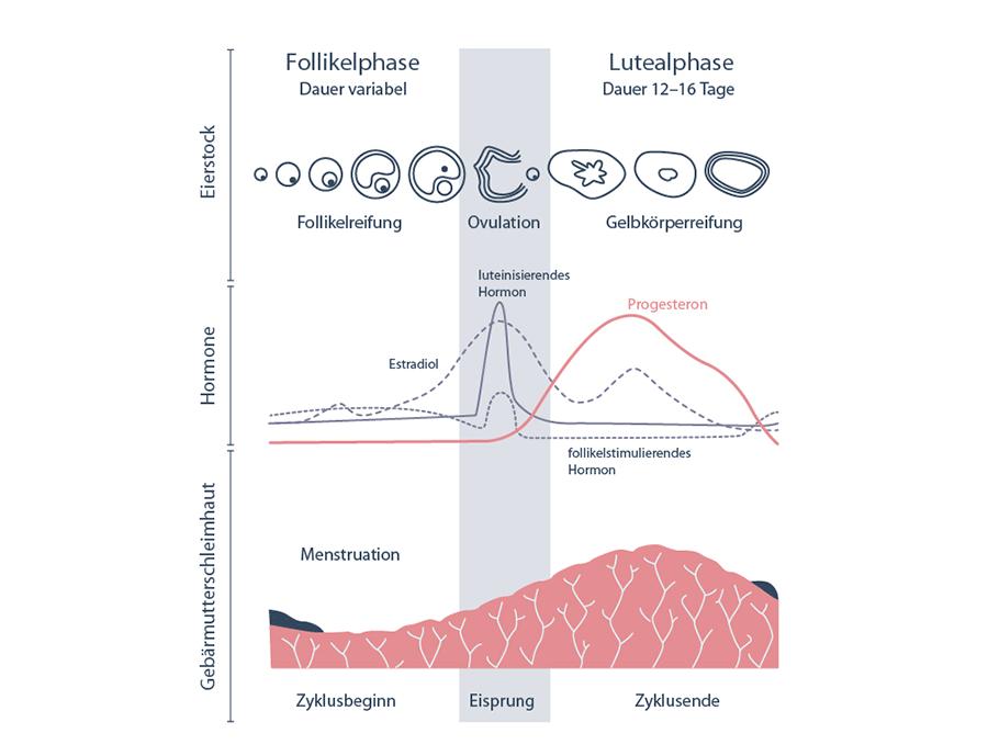 Verlauf der Hormonspiegel (Progesteron, Estradiol, luteinisierendes Hormon) während des Menstruationszyklus.